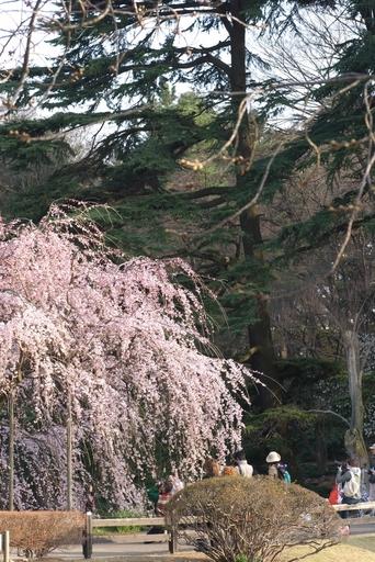 御苑しだれ桜20100322_1.jpg