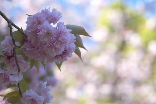 八重桜 薄桃.jpg